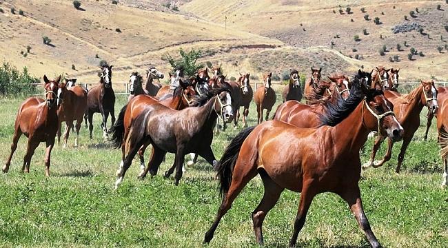 Sultansuyundaki Atlar Görücüye Çıktı