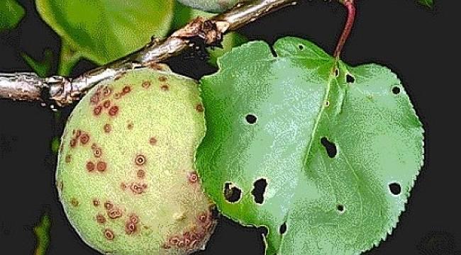 Macit, Kayısı Bahçelerinde Çil Hastalığı Riski Arttı