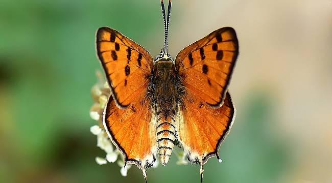 150 tür kelebeği fotoğraflamayı başardı